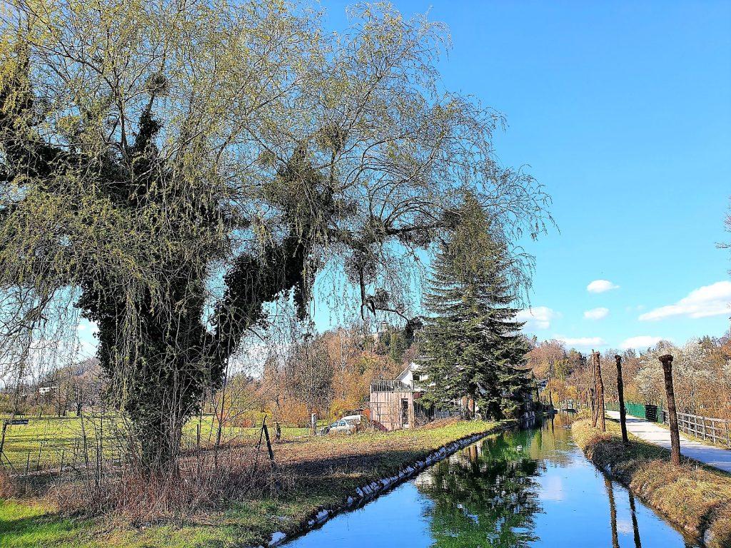 alte Kopfweiden an einem Kanal
